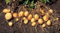 دانلود پاورپوینت نکات مهم در زراعت سیب زمینی
